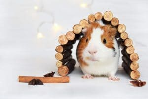 Best-Guinea-Pig-Toys