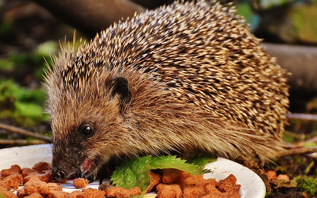 Best Food for Hedgehogs