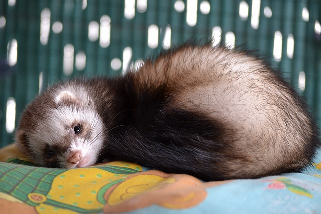 How to Clean Ferret Bedding