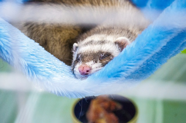 Tips for Choosing a Bedding for Ferrets
