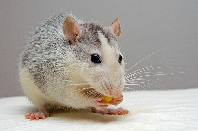 Best Food for Rats