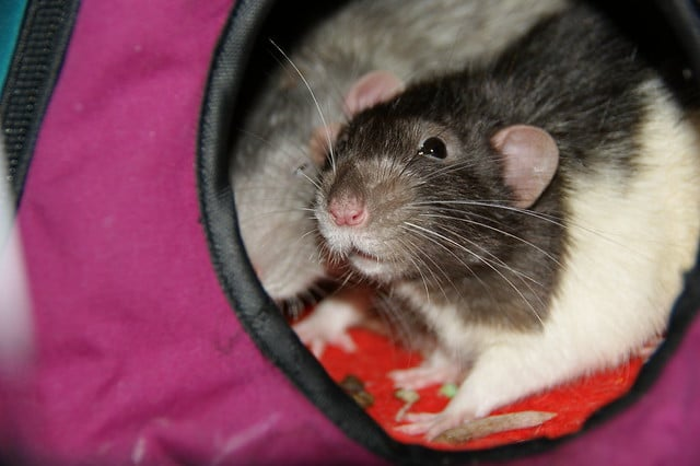 Good Bedding Types for Pet Rats