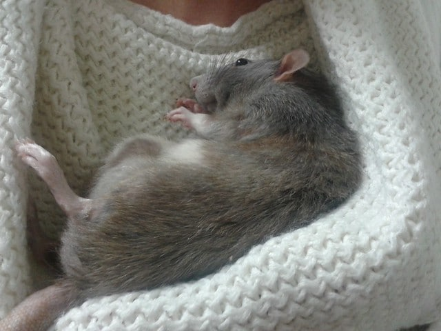Tips for Choosing the Bedding for Rats