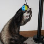 Best Toys for Ferrets